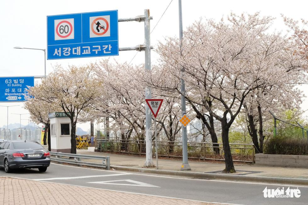 Hoa anh đào nở rợp trời hút hồn giới trẻ Seoul - Ảnh 6.