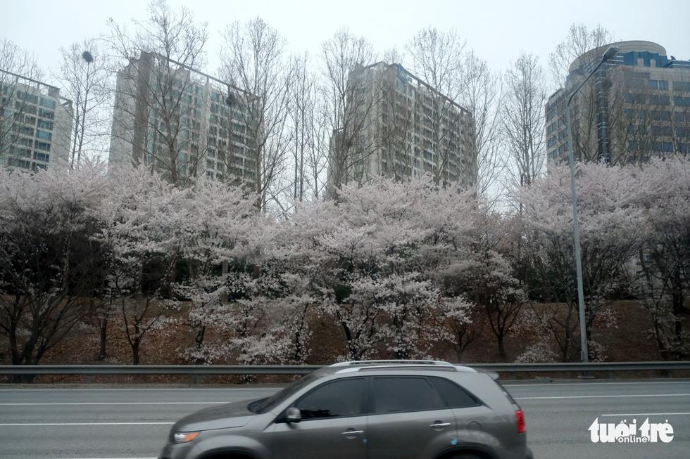 Hoa anh đào nở rợp trời hút hồn giới trẻ Seoul - Ảnh 7.