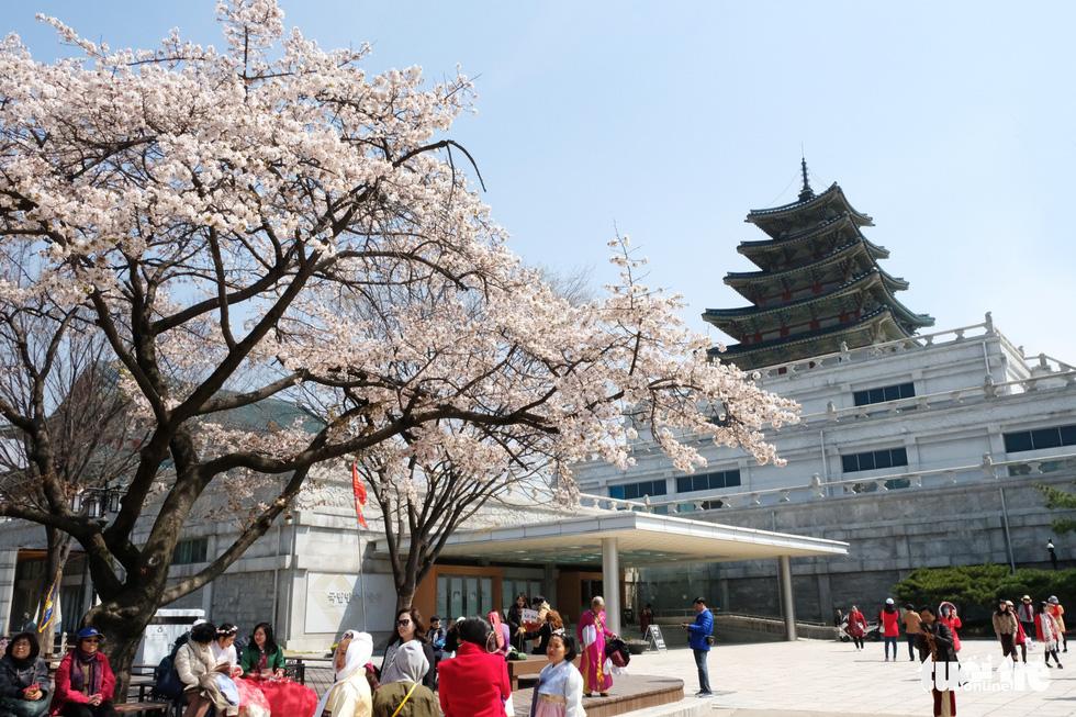 Hoa anh đào nở rợp trời hút hồn giới trẻ Seoul - Ảnh 9.