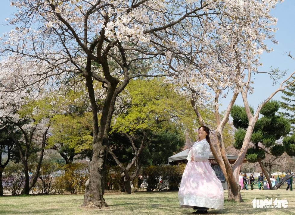 Hoa anh đào nở rợp trời hút hồn giới trẻ Seoul - Ảnh 10.
