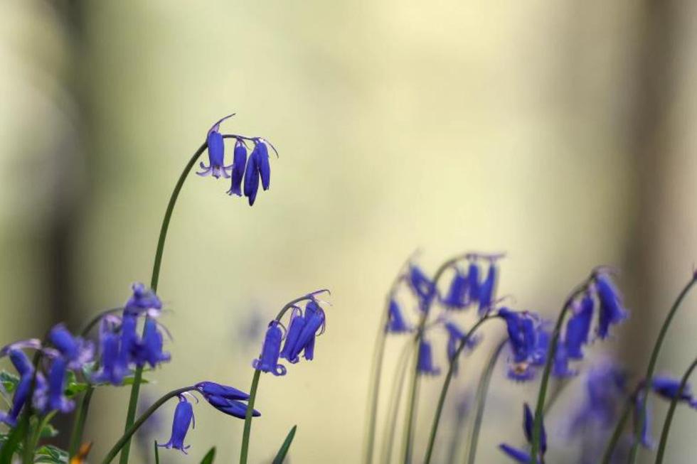 Rực rỡ mùa hoa tulip ở Hà Lan, hoa chuông xanh ở Bỉ - Ảnh 13.