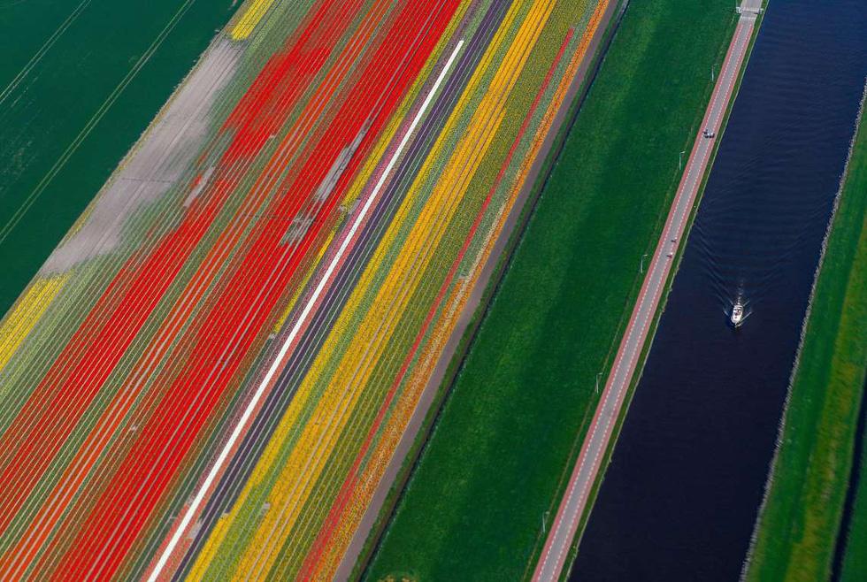 Rực rỡ mùa hoa tulip ở Hà Lan, hoa chuông xanh ở Bỉ - Ảnh 2.