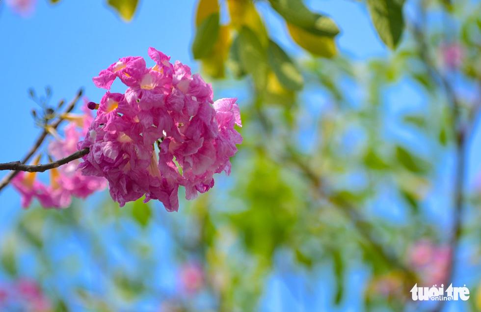 Sài Gòn có thêm mùa hoa kèn hồng - Ảnh 2.