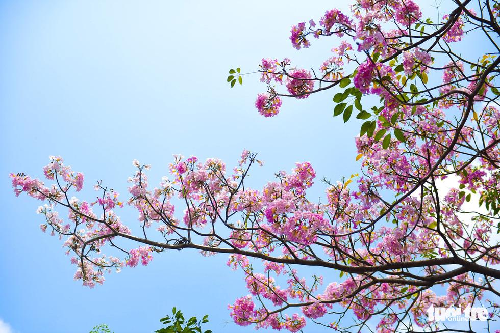 Sài Gòn có thêm mùa hoa kèn hồng - Ảnh 8.