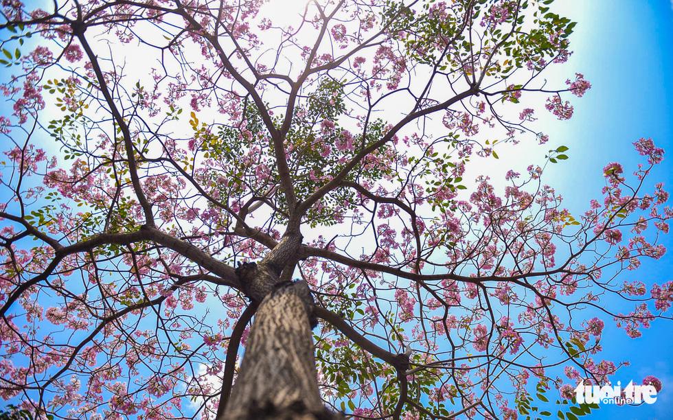 Sài Gòn có thêm mùa hoa kèn hồng - Ảnh 9.