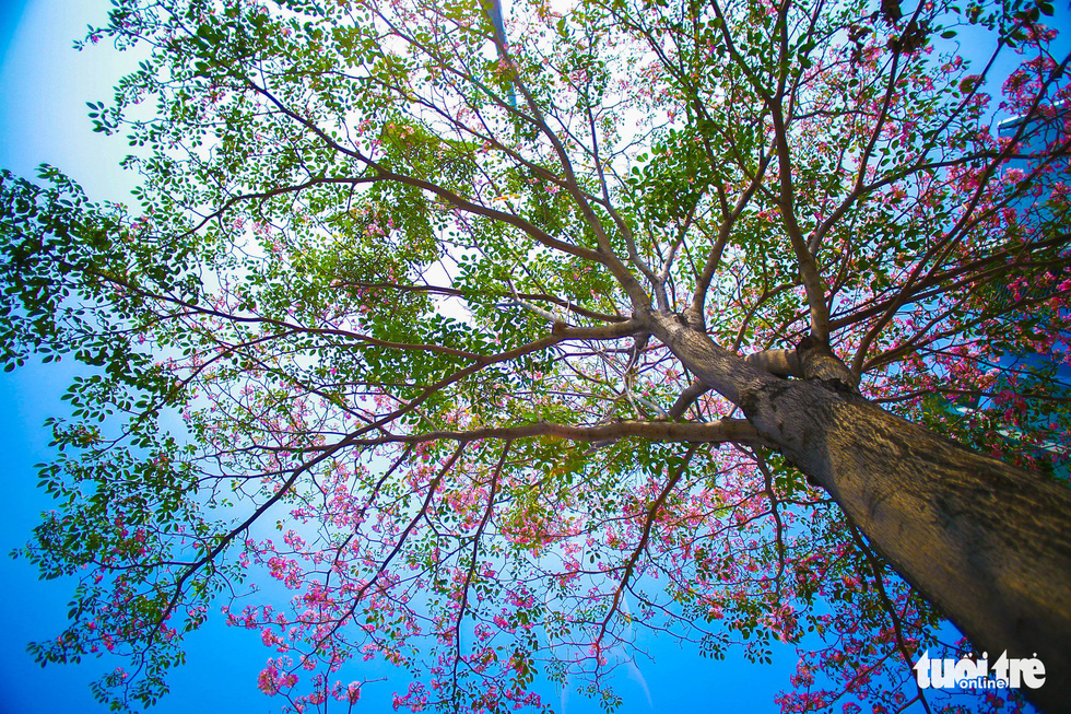 Sài Gòn có thêm mùa hoa kèn hồng - Ảnh 11.