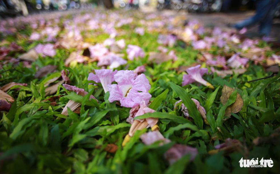 Sài Gòn có thêm mùa hoa kèn hồng - Ảnh 6.