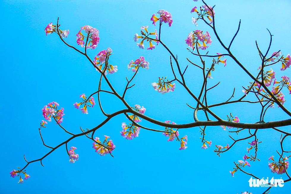 Sài Gòn có thêm mùa hoa kèn hồng - Ảnh 5.