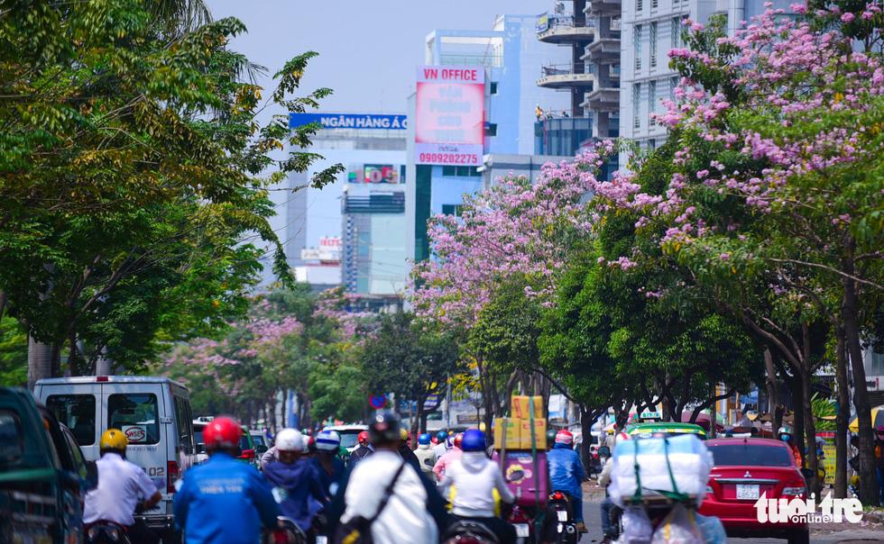 Sài Gòn có thêm mùa hoa kèn hồng - Ảnh 1.