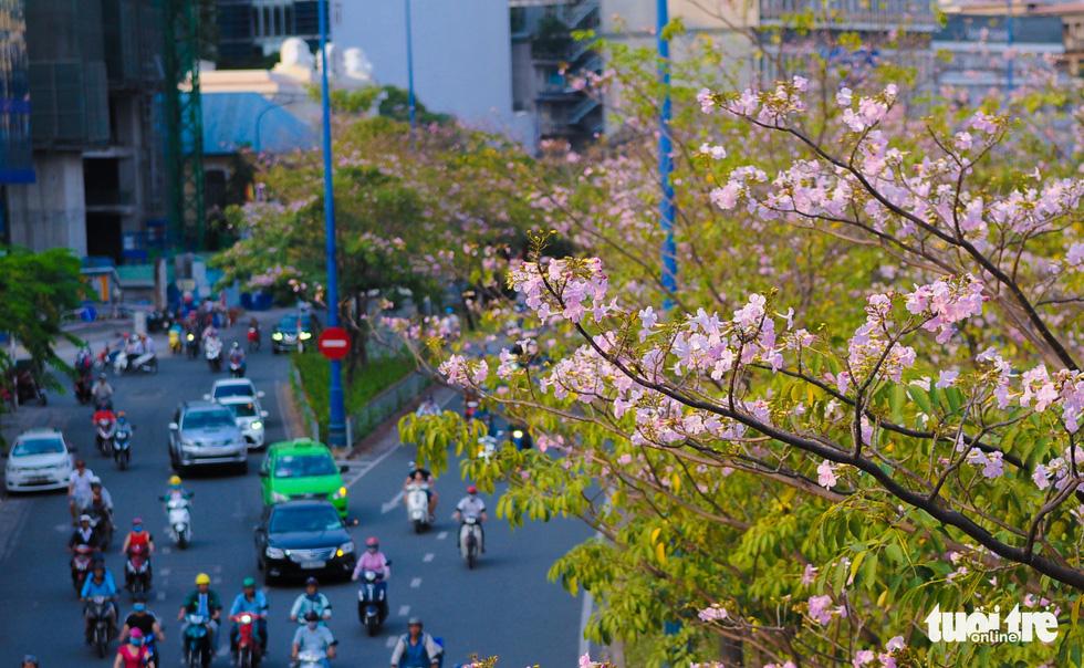 Sài Gòn có thêm mùa hoa kèn hồng - Ảnh 12.