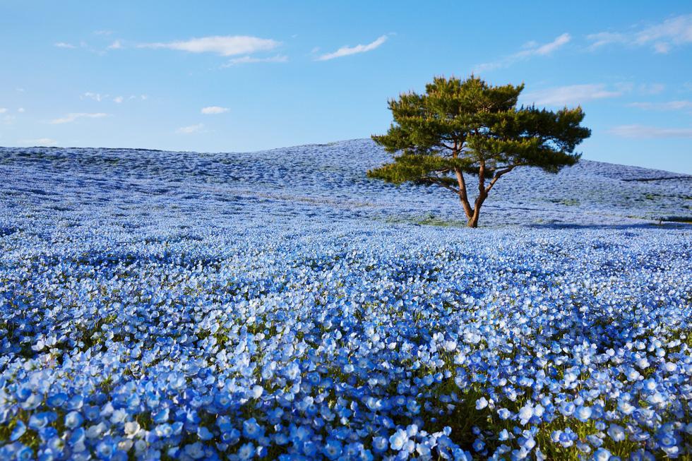 Mê mẩn với biển hoa mắt xanh ở Nhật, mao lương ở Mỹ - Ảnh 1.