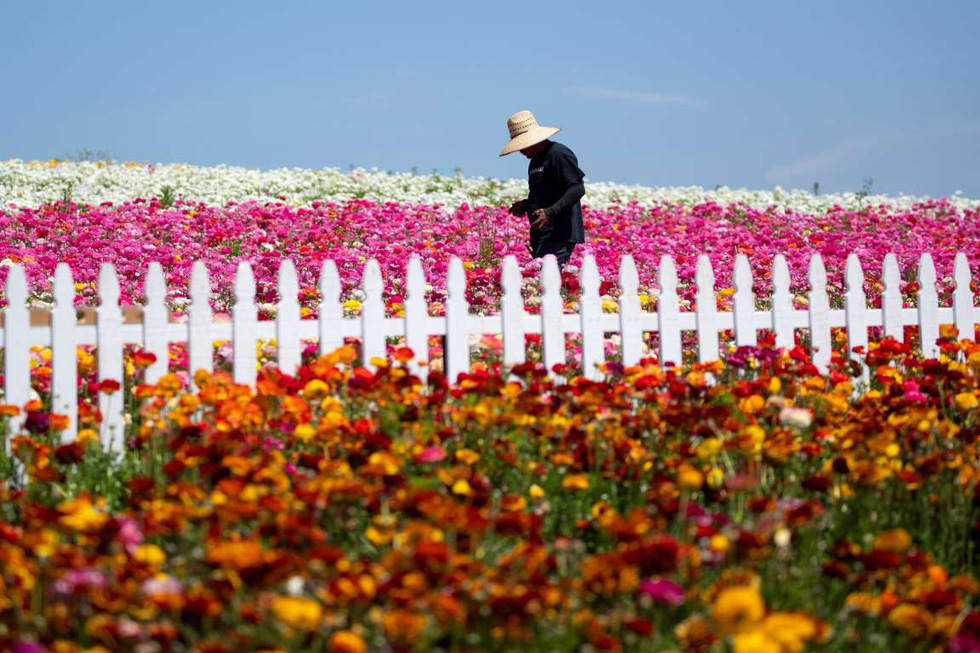 Mê mẩn với biển hoa mắt xanh ở Nhật, mao lương ở Mỹ - Ảnh 16.