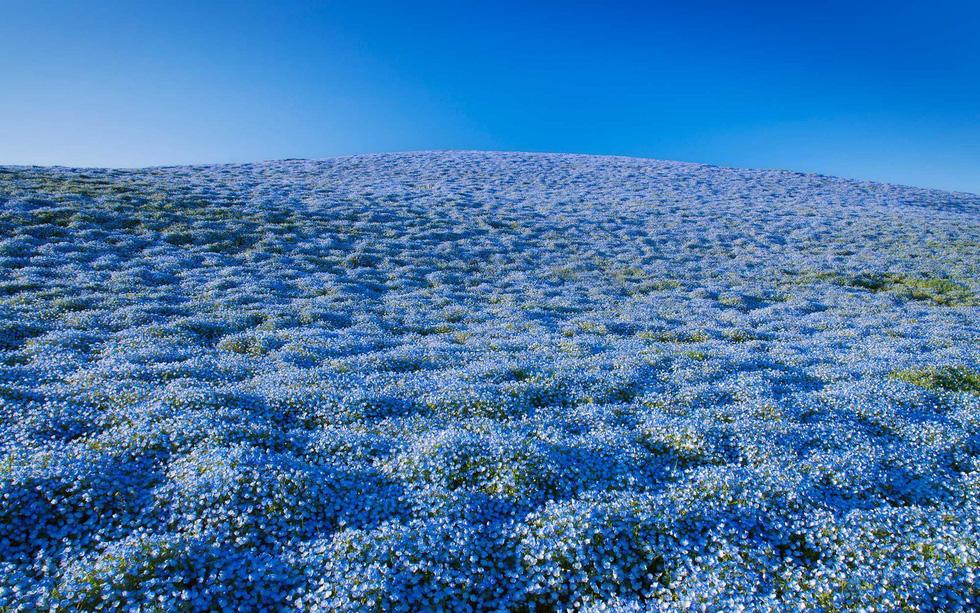 Mê mẩn với biển hoa mắt xanh ở Nhật, mao lương ở Mỹ - Ảnh 4.