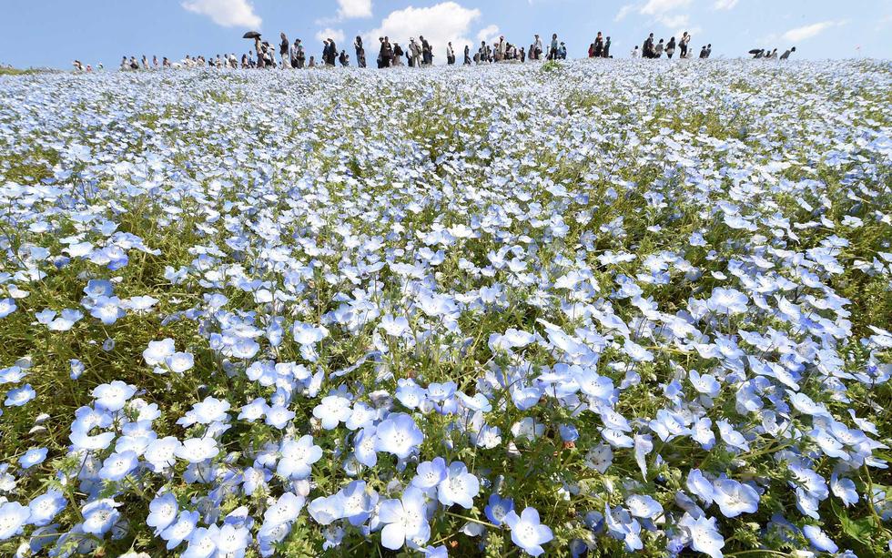 Mê mẩn với biển hoa mắt xanh ở Nhật, mao lương ở Mỹ - Ảnh 7.