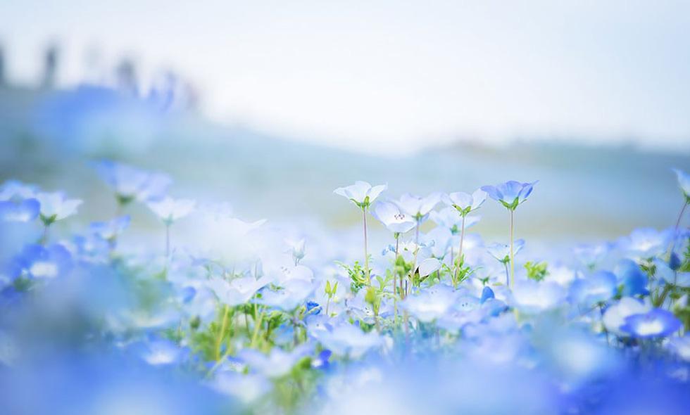 Mê mẩn với biển hoa mắt xanh ở Nhật, mao lương ở Mỹ - Ảnh 10.