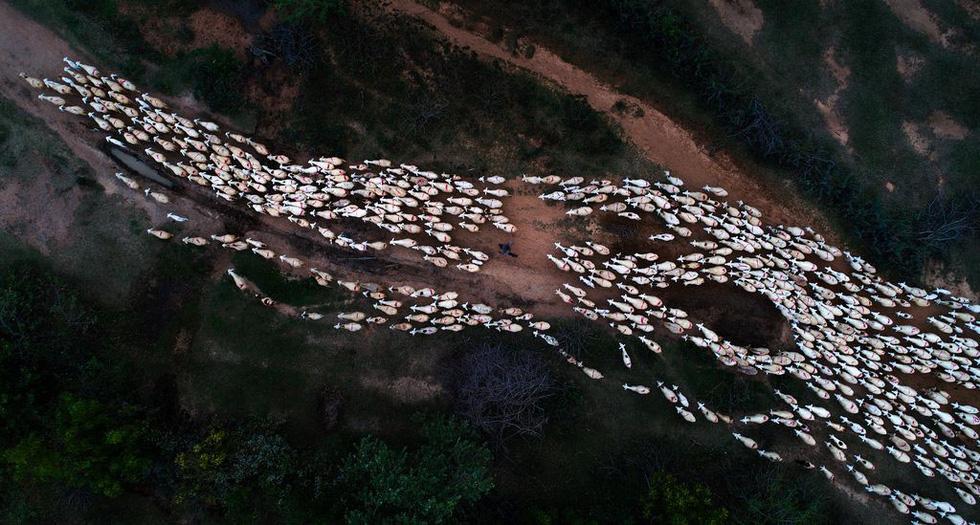Đàn cừu trở về ở Ninh Thuận nổi bật trên National Geographic - Ảnh 1.