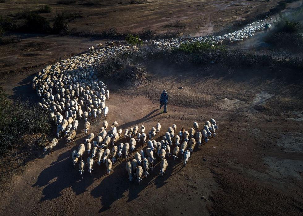 Đàn cừu trở về ở Ninh Thuận nổi bật trên National Geographic - Ảnh 3.