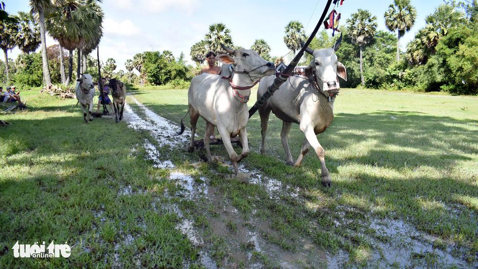 Độ bò đua Bảy Núi - Ảnh 1.