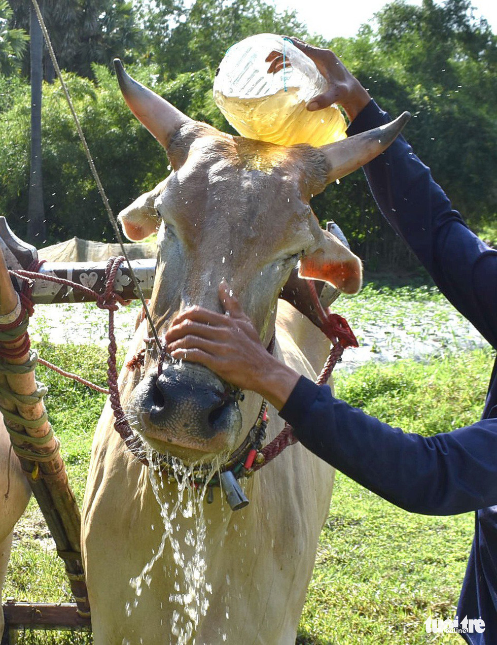 Độ bò đua Bảy Núi - Ảnh 5.