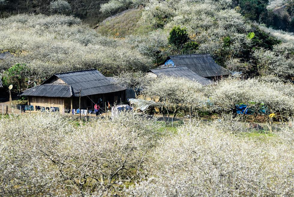Tết Mông giữa mùa hoa mận - Ảnh 3.