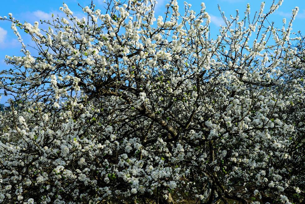 Tết Mông giữa mùa hoa mận - Ảnh 4.