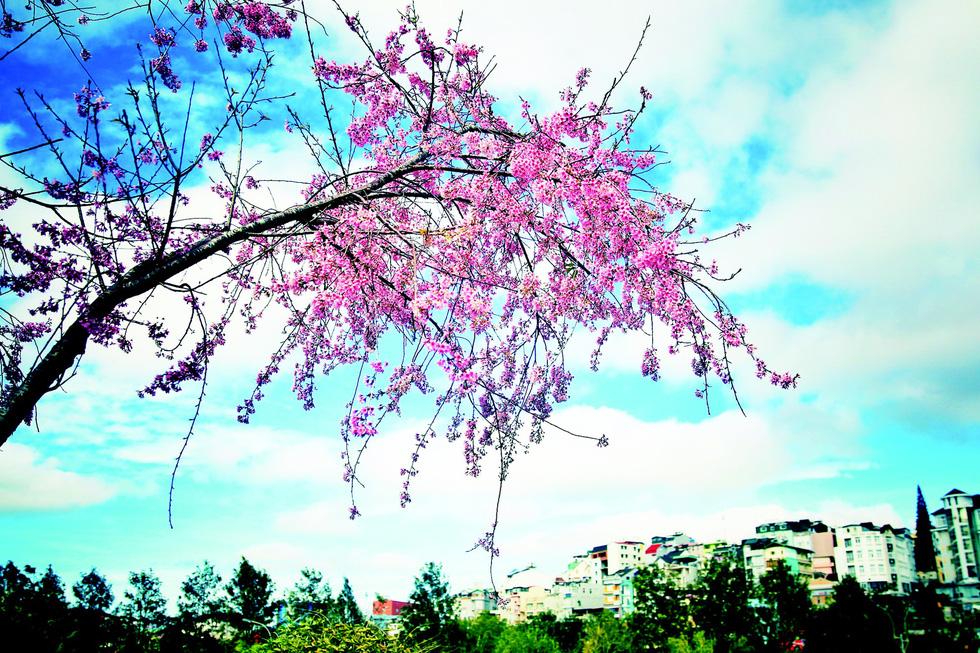 Ai lên xứ hoa đào đừng quên bước lần theo đường hoa - Ảnh 2.