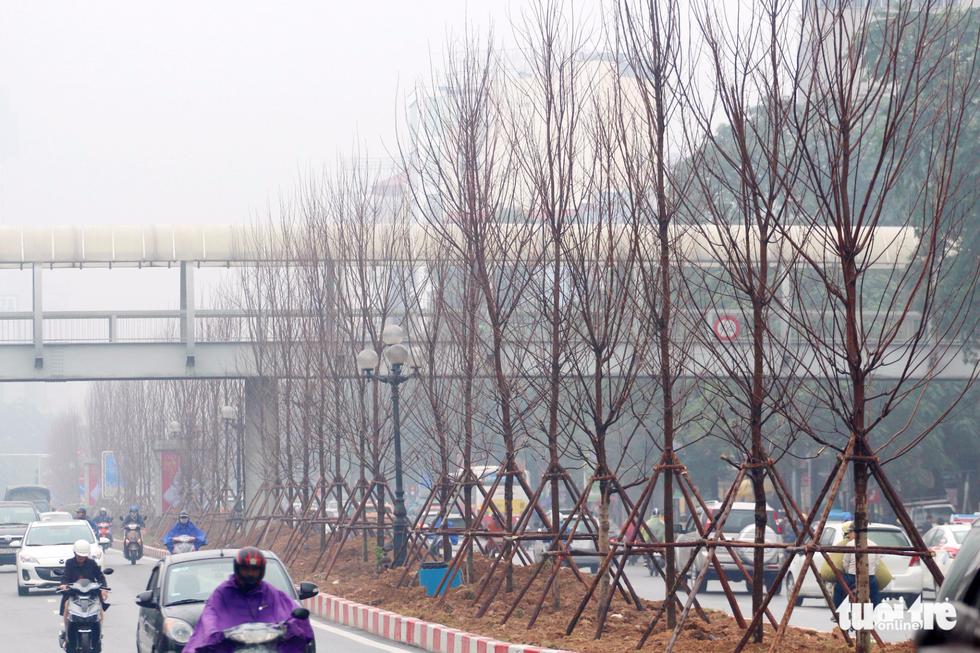 Trồng hàng trăm cây phong lá đỏ trên đường phố Hà Nội - Ảnh 1.