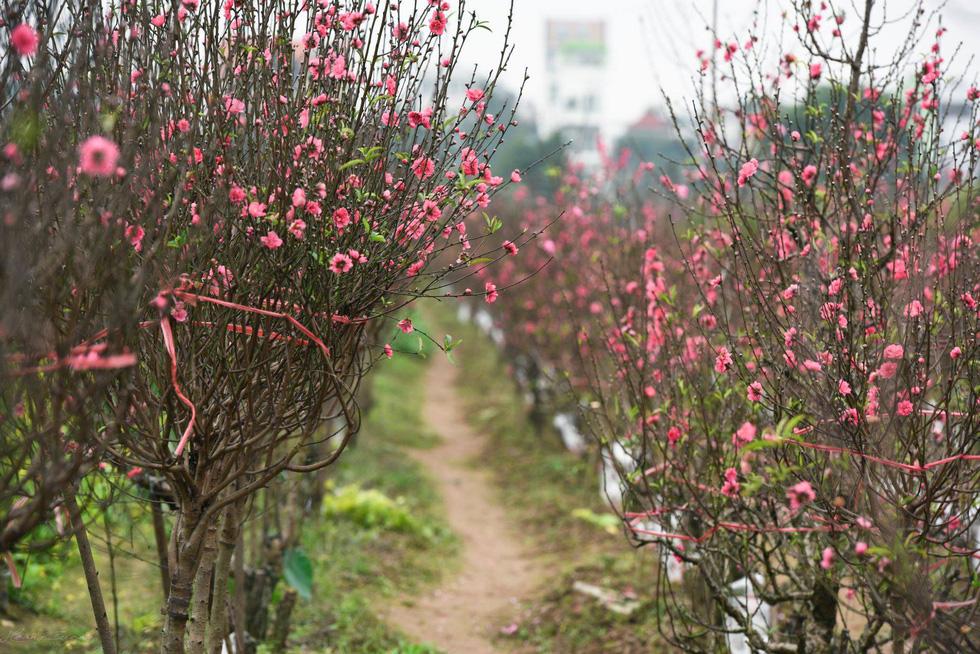 Vườn đào Nhật Tân rực sắc hồng đón Tết - Ảnh 1.