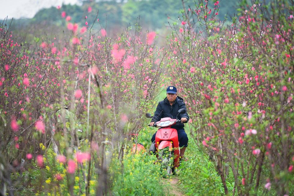 Vườn đào Nhật Tân rực sắc hồng đón Tết - Ảnh 2.
