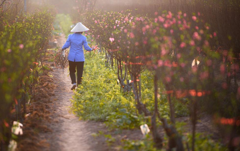 Vườn đào Nhật Tân rực sắc hồng đón Tết - Ảnh 3.