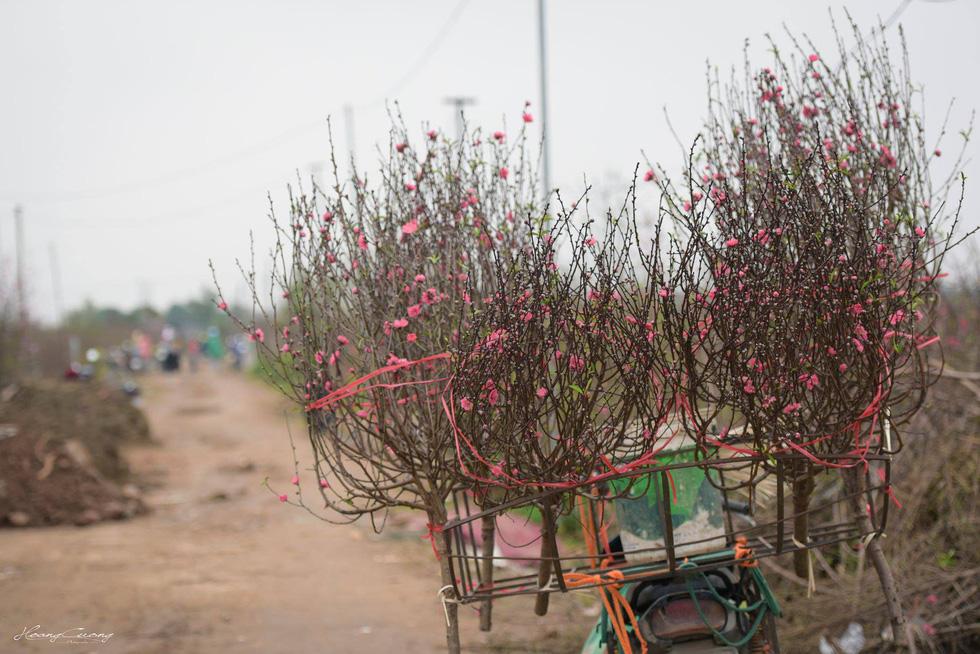 Vườn đào Nhật Tân rực sắc hồng đón Tết - Ảnh 4.