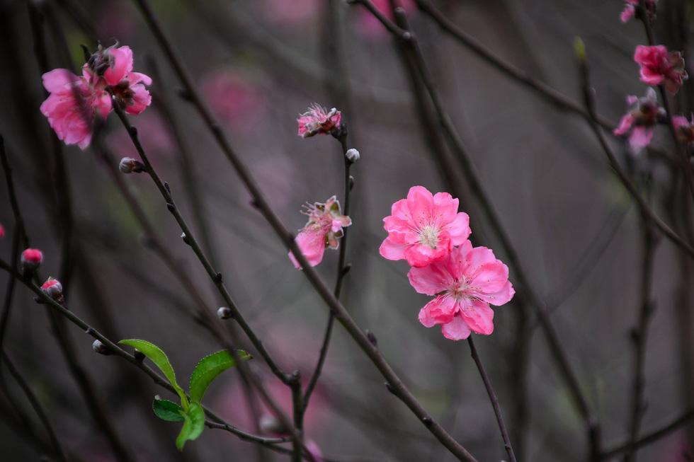 Vườn đào Nhật Tân rực sắc hồng đón Tết - Ảnh 5.