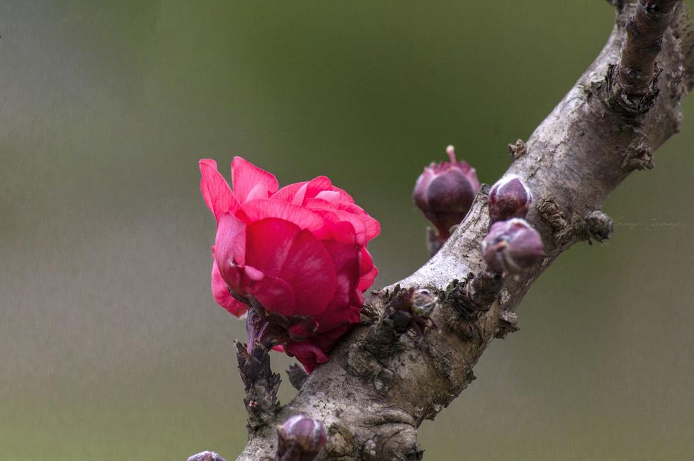 Vườn đào Nhật Tân rực sắc hồng đón Tết - Ảnh 6.