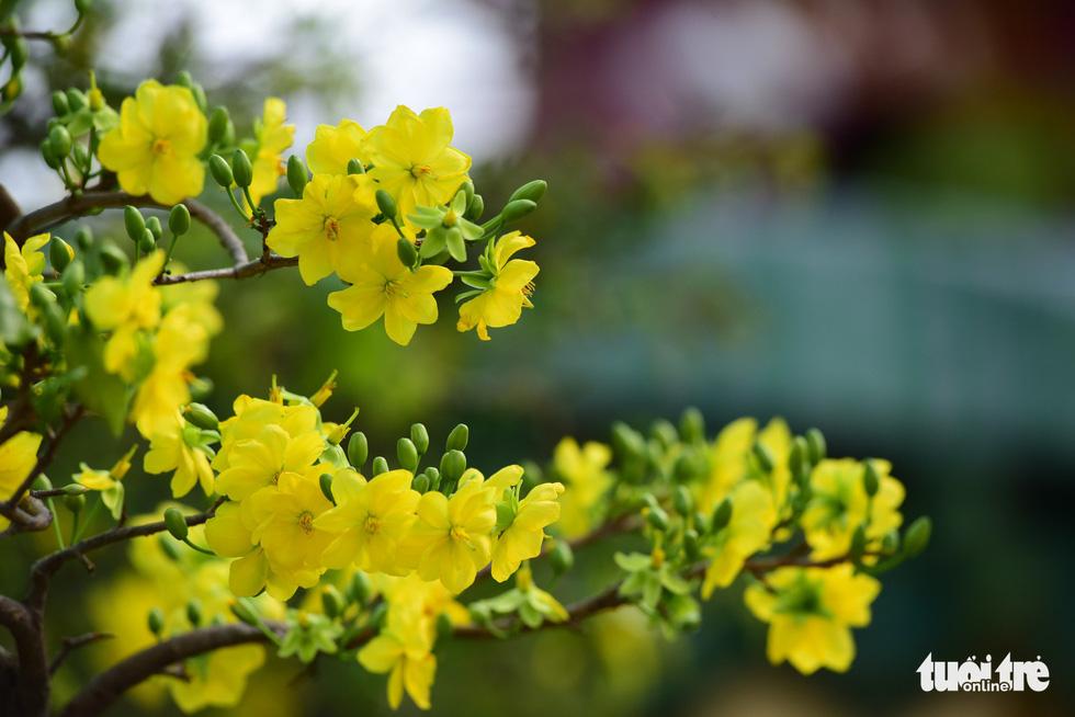 Muôn hoa khoe sắc đón xuân Kỷ Hợi - Ảnh 10.