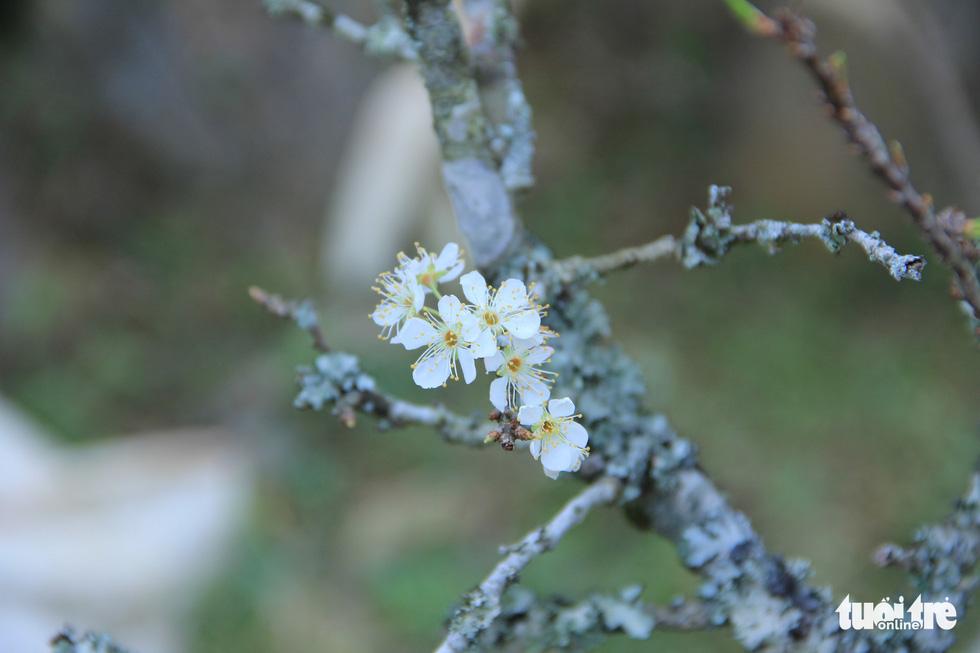 Đổ xô săn hoa đào, hoa mận núi rừng Tây Bắc - Ảnh 11.