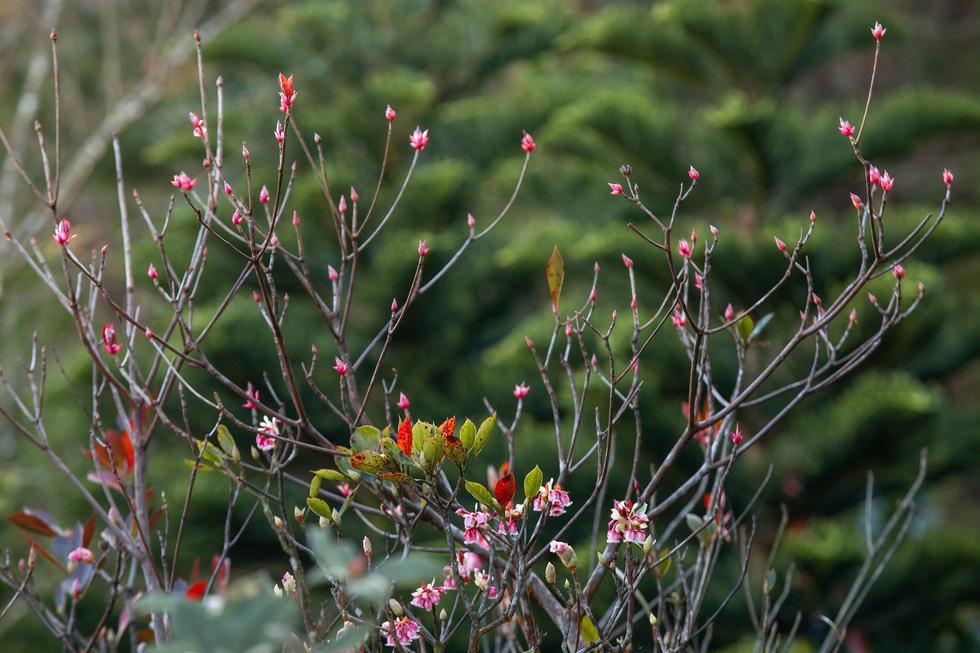 Ngất ngây mùa hoa đào chuông trên đỉnh Bà Nà - Ảnh 2.