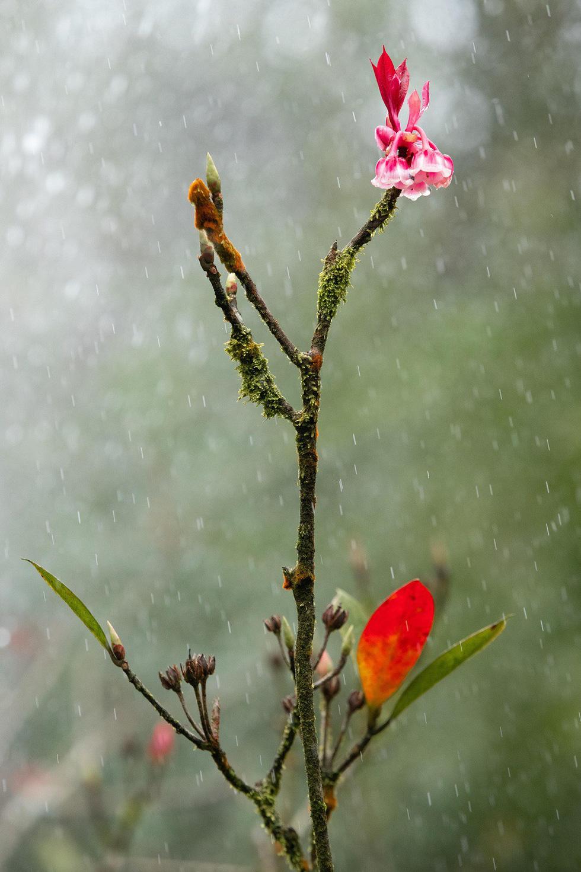 Ngất ngây mùa hoa đào chuông trên đỉnh Bà Nà - Ảnh 11.