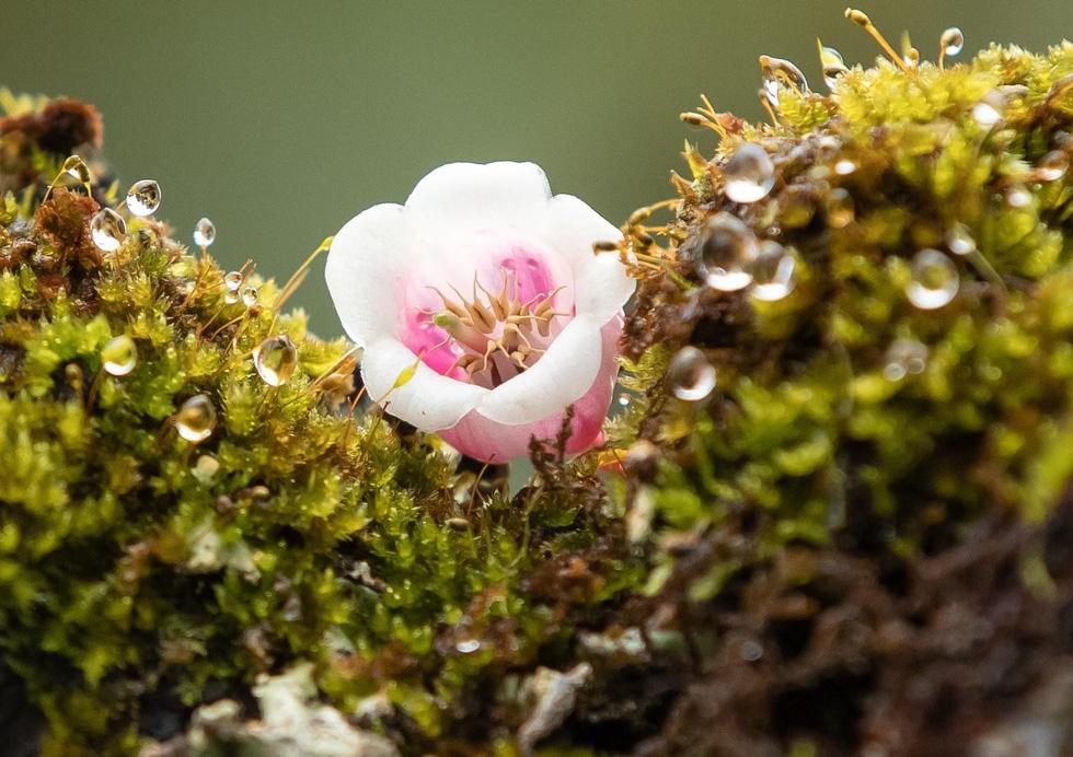 Ngất ngây mùa hoa đào chuông trên đỉnh Bà Nà - Ảnh 13.