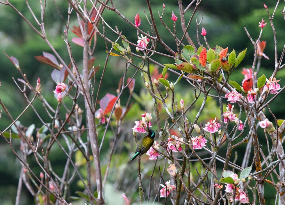 Ngất ngây mùa hoa đào chuông trên đỉnh Bà Nà - Ảnh 3.