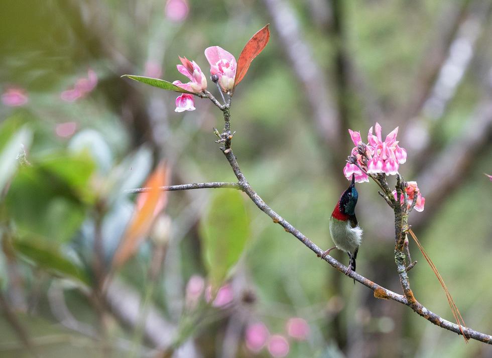 Ngất ngây mùa hoa đào chuông trên đỉnh Bà Nà - Ảnh 4.