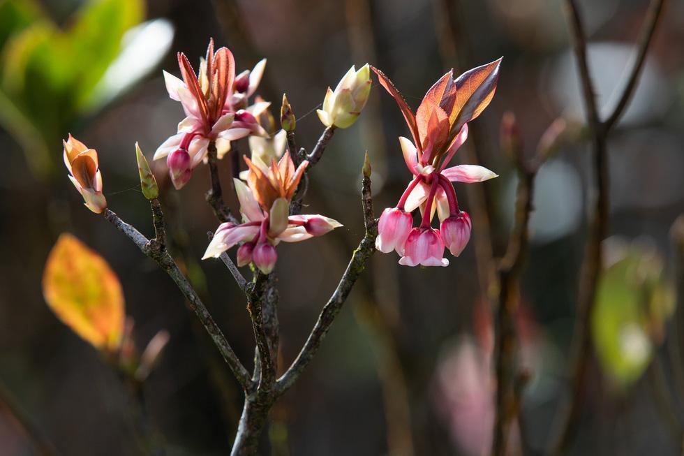 Ngất ngây mùa hoa đào chuông trên đỉnh Bà Nà - Ảnh 5.