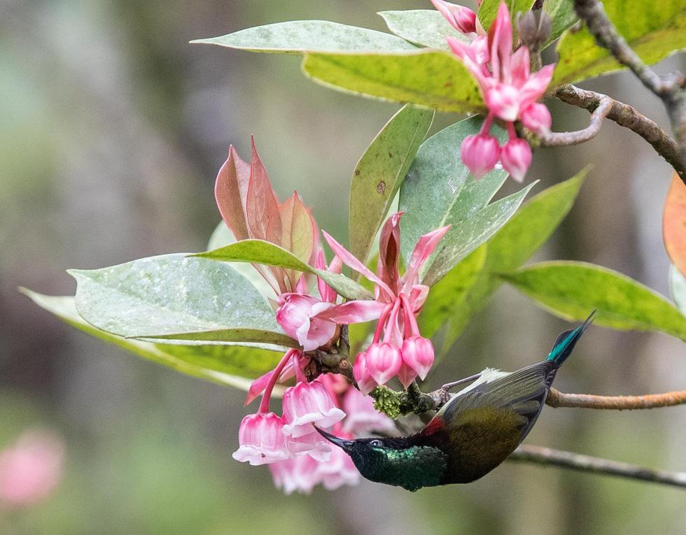Ngất ngây mùa hoa đào chuông trên đỉnh Bà Nà - Ảnh 8.