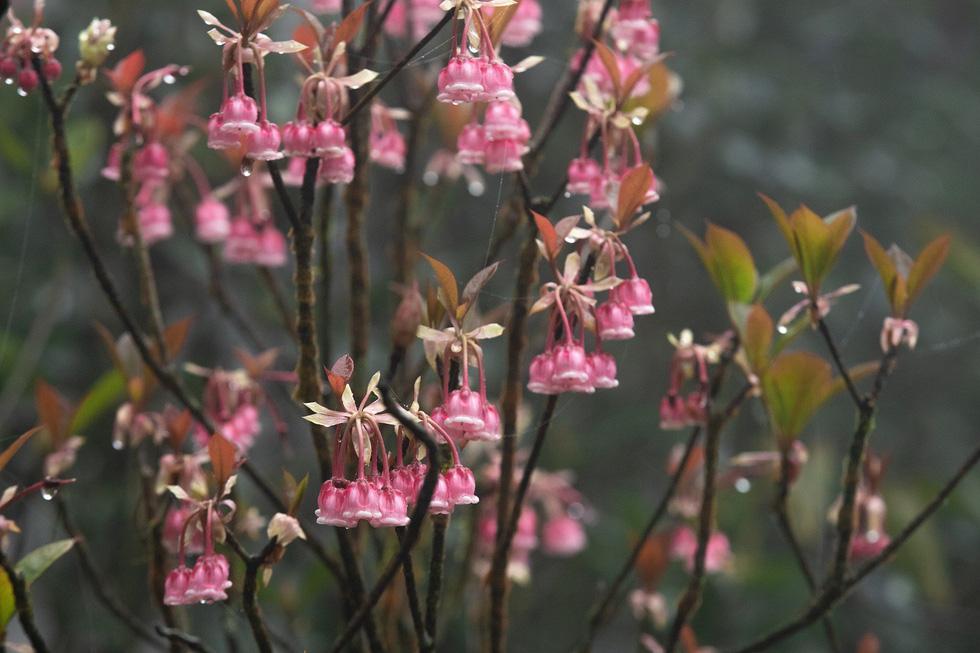 Ngất ngây mùa hoa đào chuông trên đỉnh Bà Nà - Ảnh 9.