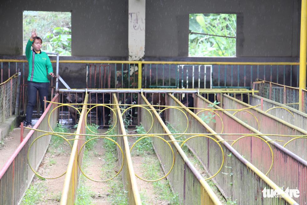 Cuộc đua heo rừng kỳ thú ở Khánh Hòa - Ảnh 6.