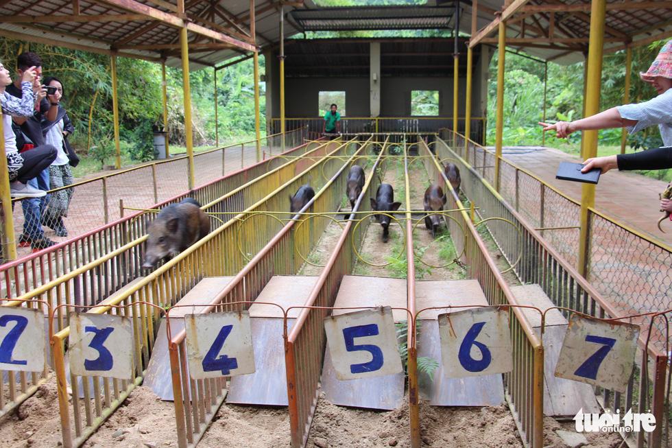 Cuộc đua heo rừng kỳ thú ở Khánh Hòa - Ảnh 1.