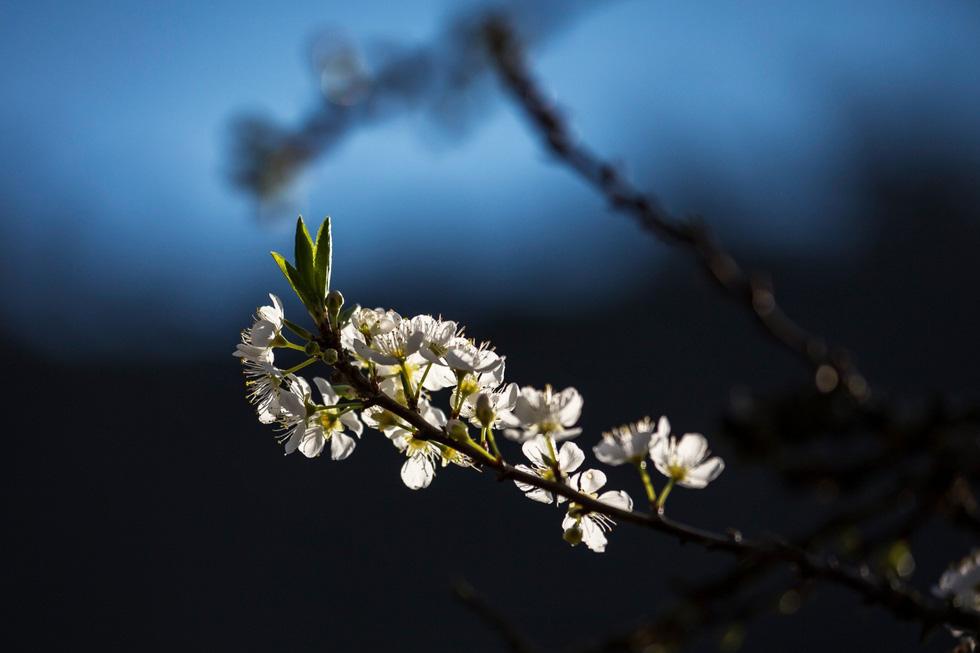 Mùa hoa mận trắng của người Mông bản Phiêng Cành - Ảnh 14.