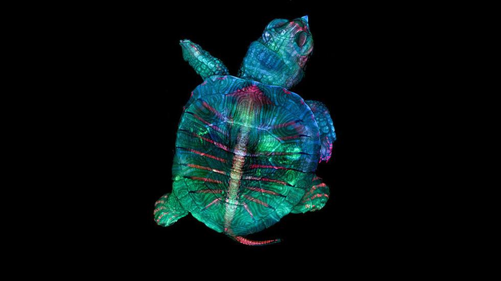 Ngỡ ngàng vẻ đẹp của phôi thai rùa, cá sấu dưới kính hiển vi - Ảnh 1.