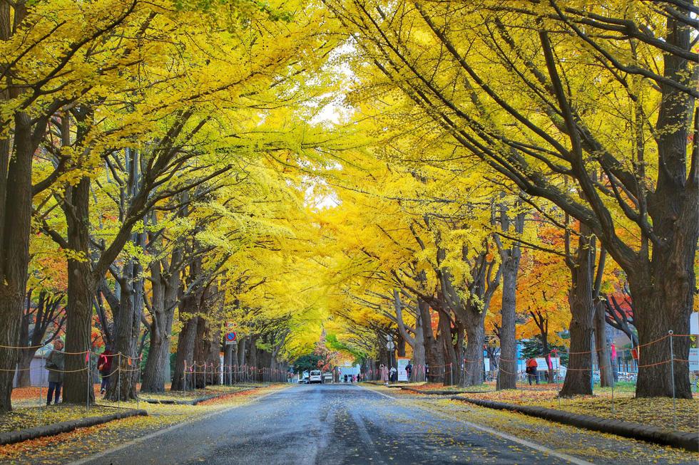 Thu vàng lộng lẫy của Hokkaido - gặp một lần đã là diễm phúc - Ảnh 6.