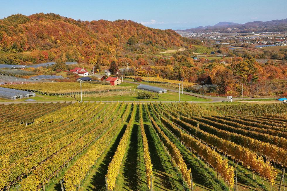Thu vàng lộng lẫy của Hokkaido - gặp một lần đã là diễm phúc - Ảnh 7.