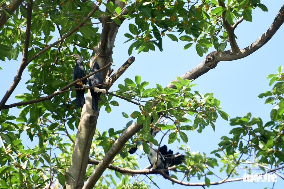 Cận cảnh đàn chim cổ rắn quý hiếm ở Đồng Nai - Ảnh 11.